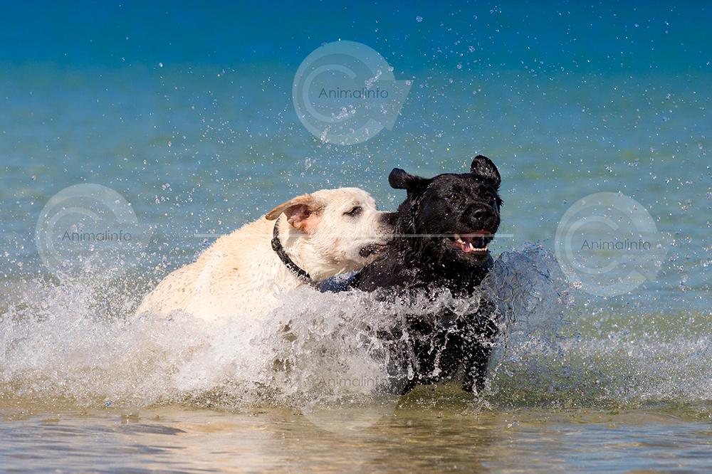 Black and yellow labs in the surf at the beach