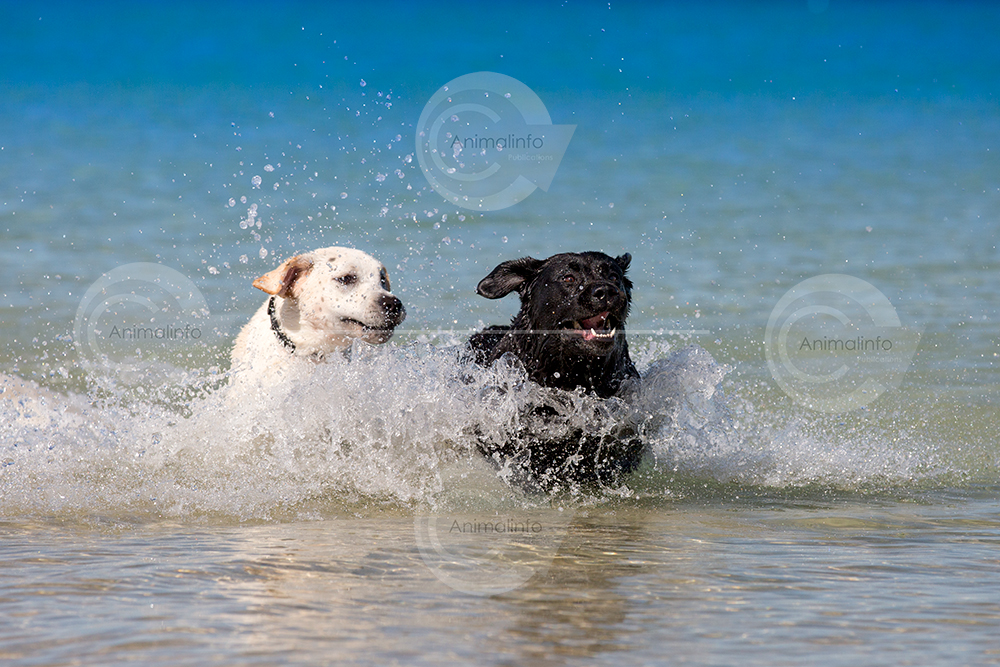 Black and yellow Labradors playing in the ocean.