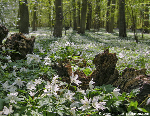 Woodland Anemones