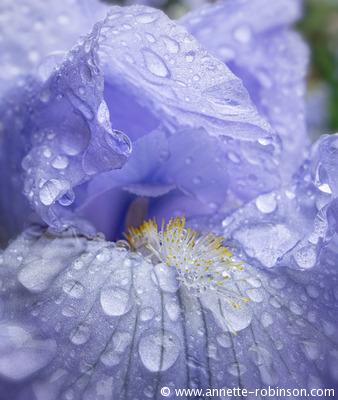 Rain Drenched Iris