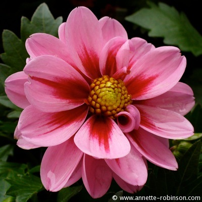 Passionately Pink Dahlia