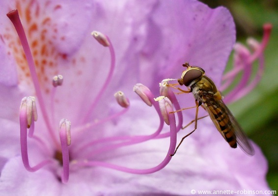 Feasting on Rhododendron Pollen