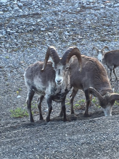 roadside fauna, stonesheep