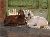 Nawalgarh goats : by 2008-2009, Views[324]