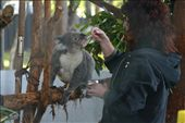 Hospital staff feeding a koala a vitamin and carbohydrate supplement.: by BigTripBlog, Views[387]