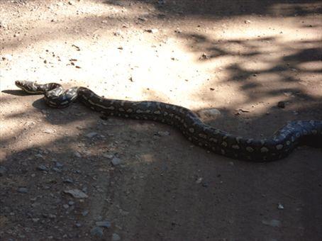 The big snake a little bit closer