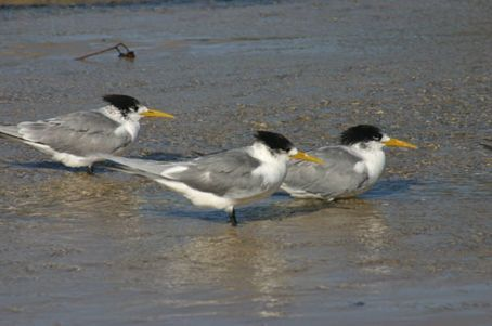 They look like ordinary seagulls...except they're wearing hair pieces!