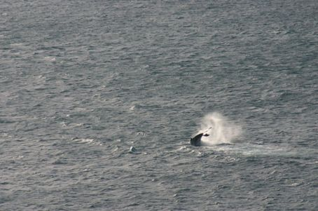 It's small and far far away, but that is definitely the lower half of a humpback whale, seen with our own eyes.