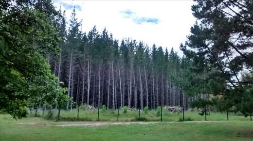 Whakarewarewa Forest (redwoods)