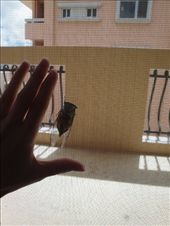 A size reference...that's my hand on one side of the screen and the cicada on the other.  Tropical islands and their big bugs!: by abcarlson, Views[411]