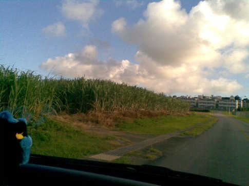 Me and Shisa looking at the Sugarcane as we drive by.