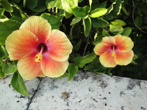 They make hibiscus tea over here.  This beautiful flower almost makes me wish I liked tea!