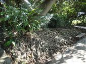 Check out that root system!  Impressive, very impressive!: by abcarlson, Views[182]