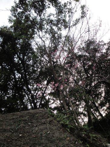 Cherry tree along the road