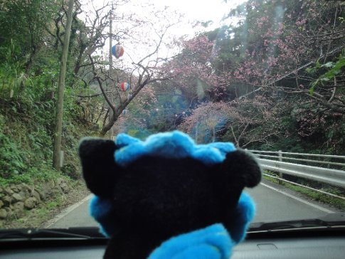 Shisa watched as we snaked our way up the cherry lined road towards the mountain top.