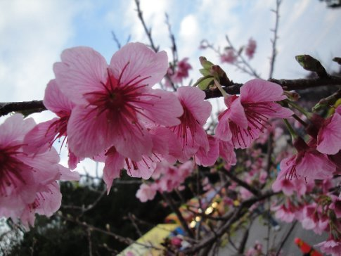 Each year, the cherry blossoms bloom in Okinawa before anywhere else.  Brandon says we're special.  :)