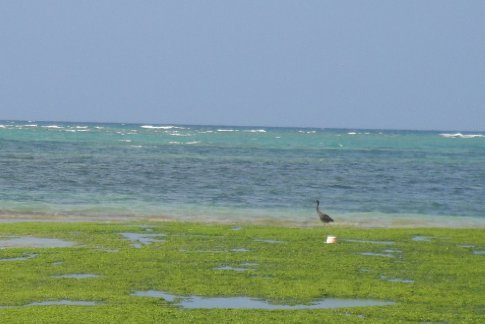 A black crane (probably not its actual name) looking for lunch in the coral tide pools.