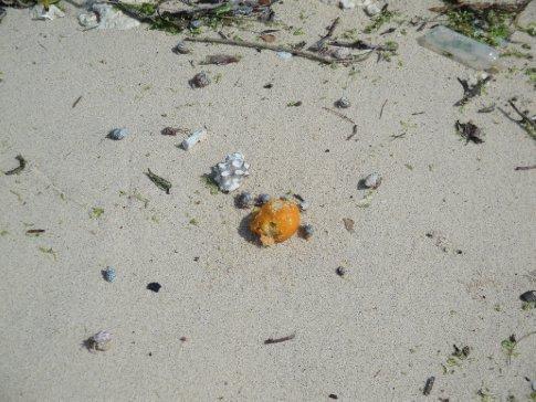 The hermit crabs seem very happy it's mikan season, too!