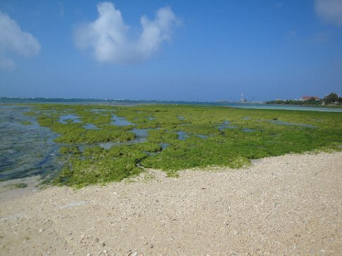 Algae/seaweed blanketing the exposed coral.