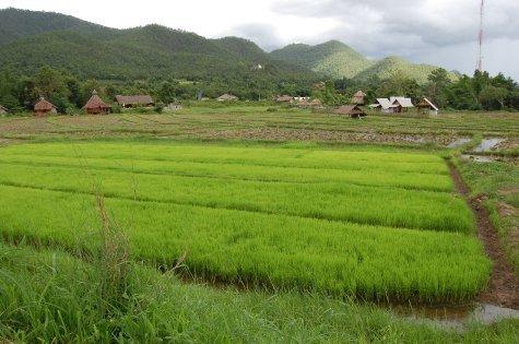 Rice fields in Pai