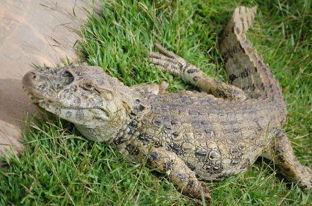 Big crocodile!