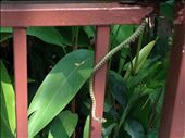 Snake on the loose at Dusit Zoo: by aceite4, Views[207]