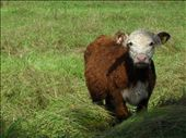 The legendary Cow : by adora, Views[267]