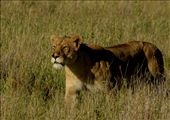 na przedzie szla lwica z rozprutym nosem: by africa2009, Views[324]