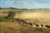 Great Wildebeest Migration: by africanskysafaris, Views[180]