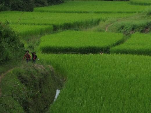 Kids running home after school through rice fields