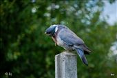 Nikon D3000 with 55mm VR lens - A pigeon checking it self : by aj1110, Views[210]