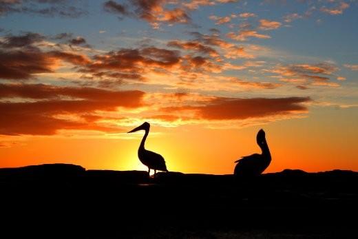 Dawn pelicans