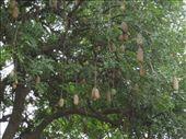 Jack fruit tree: by alexbg, Views[155]