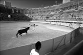 a raseteur grabs the ribbon from the bull's horns: by alison_mccauley, Views[231]