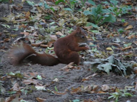a blurred red squirrel - well it wouldn't stay still...