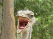 Who thinks Ostrich shouldn't be on the menu: by all_powered_up, Views[706]