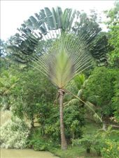 A fan palm i believe in the amazing gardens of Sepilok jungle resort: by all_powered_up, Views[781]