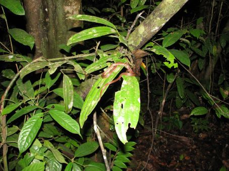 Suprisingly this is another poisonous snake...but hey, it is at night time