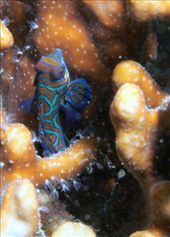 A mandarin fish - they always hide in the stinging urshins the little sods: by all_powered_up, Views[607]