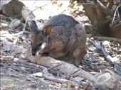 wallaby or Joey?: by all_powered_up, Views[410]