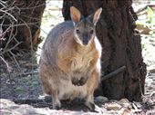 Now that's a wallaby: small head, fat body...i had a girlfriend like that once: by all_powered_up, Views[1215]