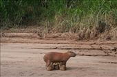 cappybera -- world's largest rodent!  It lives in the amazon region and this a mother and babies.: by alleen, Views[939]