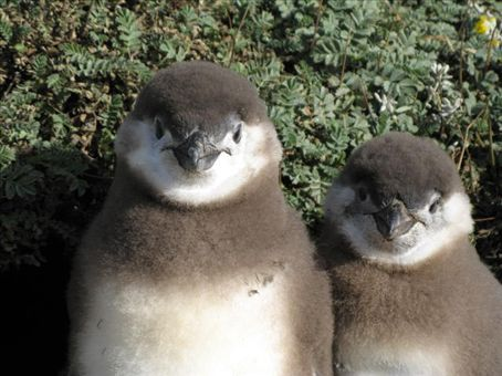 Two baby Magellanic penguins at Seno Otway.