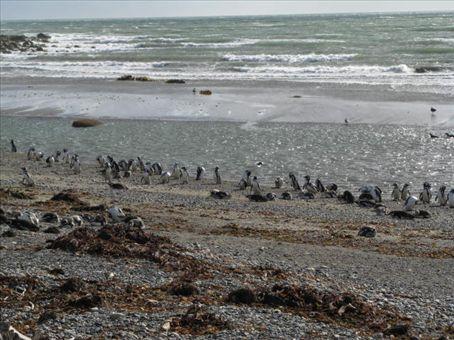 Magellanic Penguins at Seno Otway on the Otway Sound.