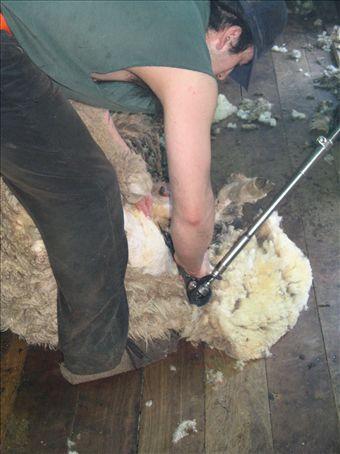 Shearing day at the Estancia