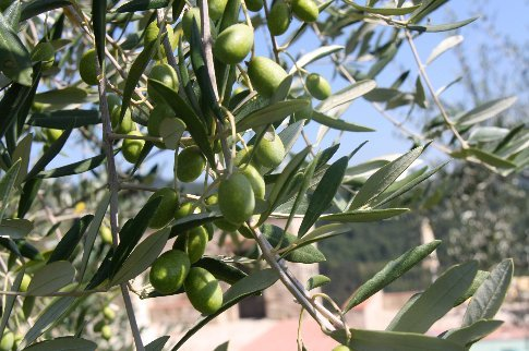 The olives around the pool, absolutely laden