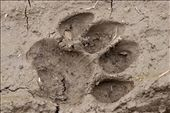 Pugmark - A fresh Tiger pug mark in the mud raises the anticipation levels      : by alphashooter, Views[2049]