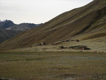 The daily train of llamas and alpacas being herded up the valley.
