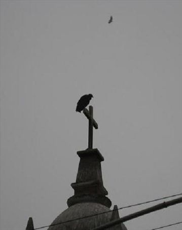 A Black Vulture atop a cathedral in Lima. Black Vultures (to go all bird-nerd on you) look practically identical to immature Turkey Vultures, except they're a little smaller.
