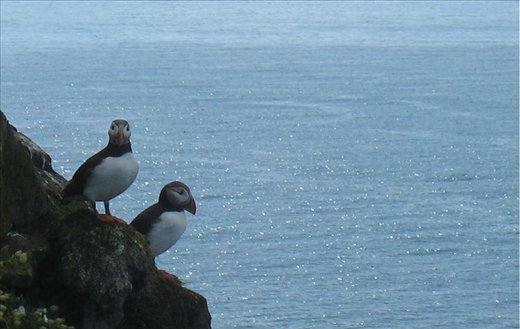 Puffin at the famous Látrabérg bird cliffs (also the western-most pt. of Europe)